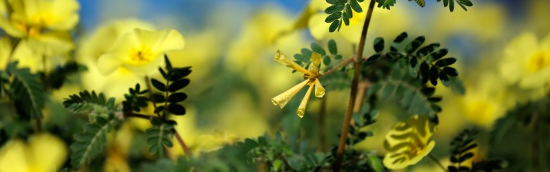 Buzdyganek naziemny - zioło na libido